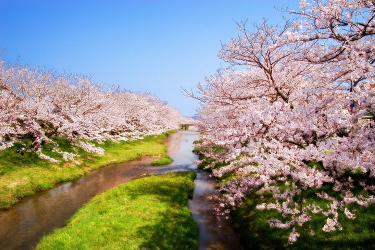 Tamatsukuri Onsen, Matsue, Japan - Beautiful cherry blossom by the river