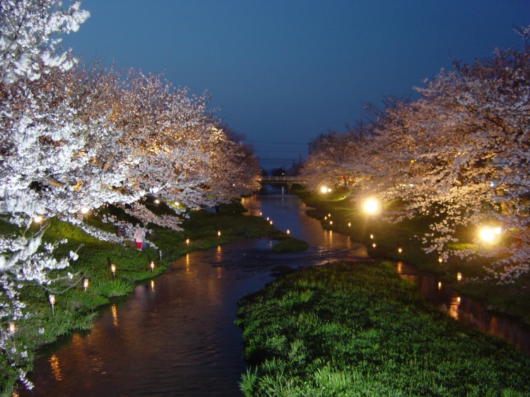 Tamatsukuri Onsen - Cherry Blossom at night