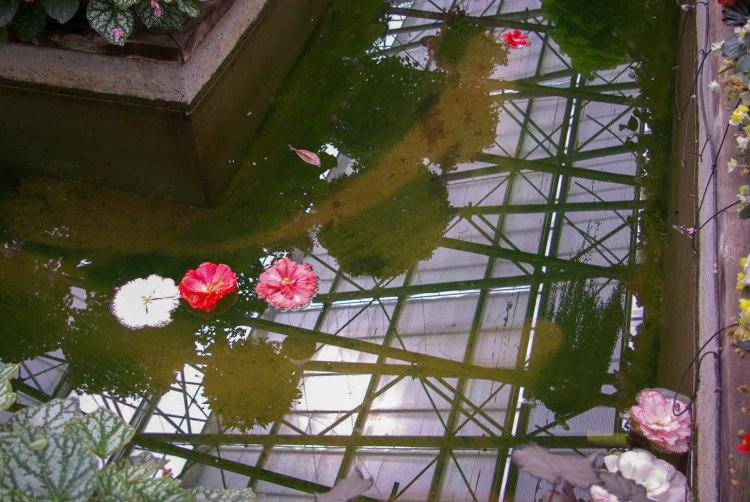 Fleurs de pivoine à la dérive