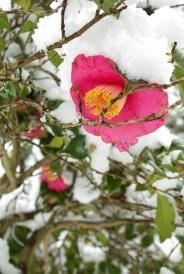 Matsue Japon shimane hiver neige chateau tsubaki camélia
