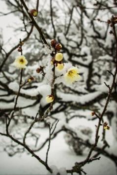 Matsue Japon shimane hiver neige chateau prunier ume