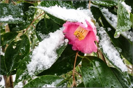 camélia château matsue neige